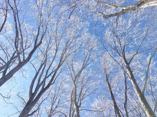 ブナ林についた樹氷、きれい