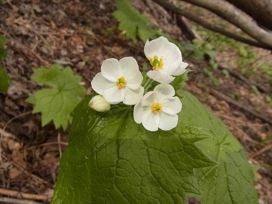 サンカヨウの花