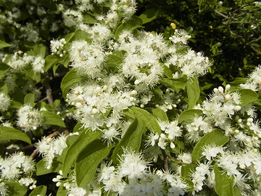 サワフタギの花