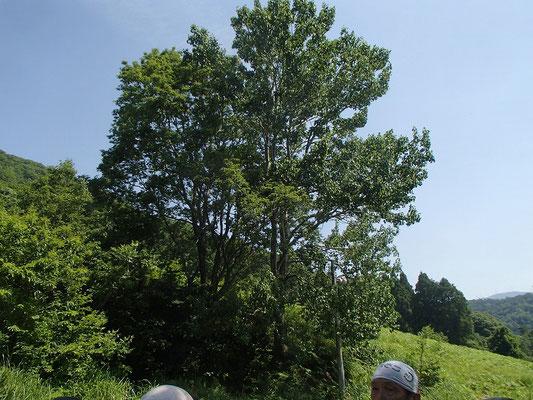 ヤマナラシ 風で葉がよくく動く構造になっている