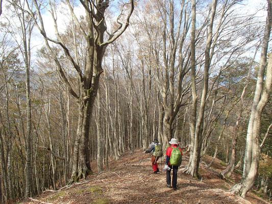 小栗山へ向かう尾根もきれいなブナ林でした