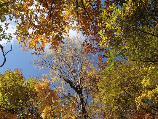 09黄色く色づいた木々の葉が青空に映えます
