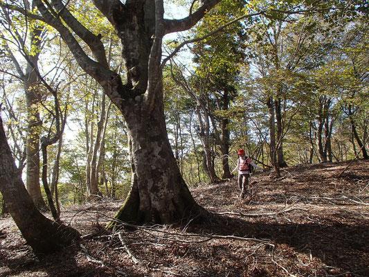 下山ルートの尾根にもブナの大木がありました。