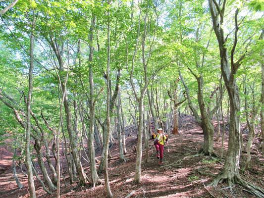 新緑がまぶしい季節 ミズナラ、ブナの林。人に出会わず静かな比良です。