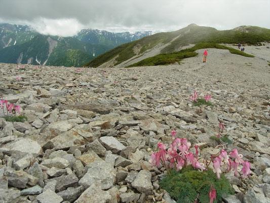 蓮華岳のコマクサ ピーク時には、山全体に咲きます。