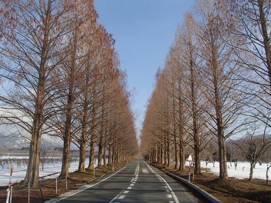 メタセコイア並木径