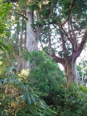 立山杉の巨木