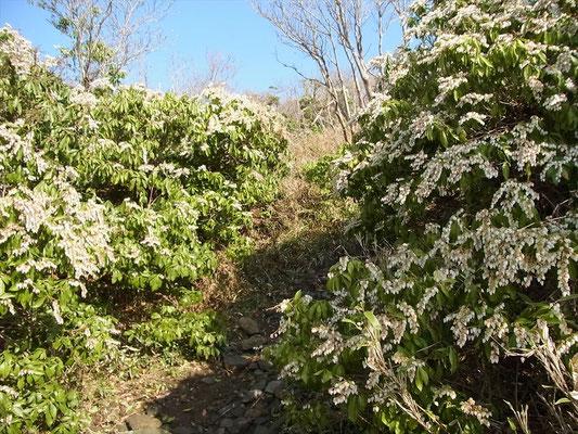 ホッケ山への登りでアセビの花