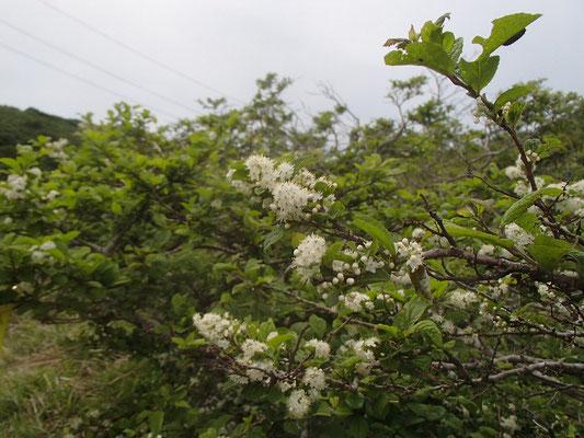 カマツカ 白い花が咲いている。おいしい赤い実ができるらしい。