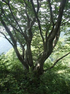 アカシデの大木