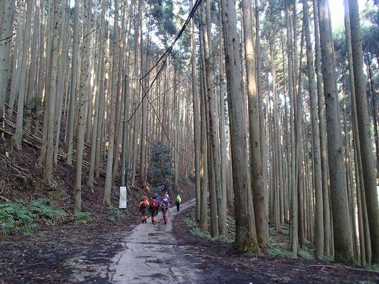 朝もやの杉木立の中を進みます