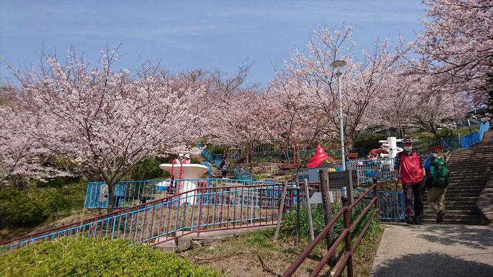 須磨浦山上遊園の満開の桜