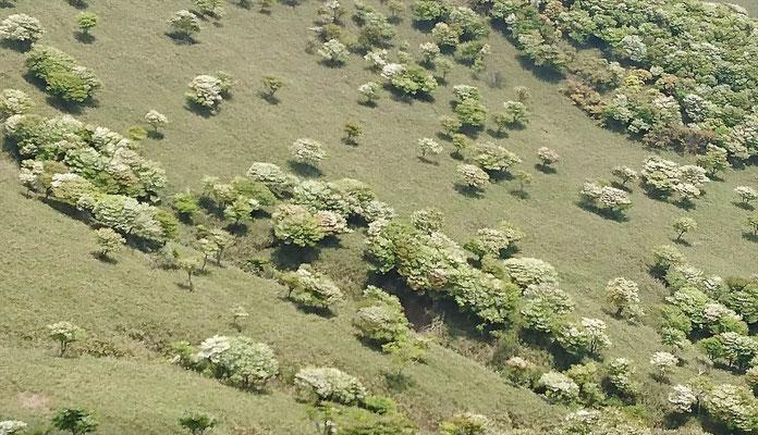 斜面にはシロヤシオの羊がいっぱい