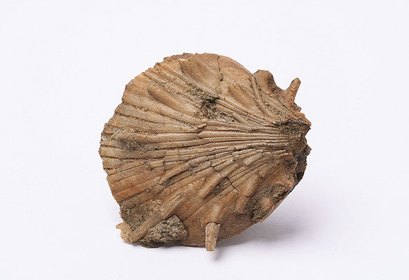 Abb. 22: Spondylus sp.; Ramberg Mb, Adelholzen Fm; Bad Adelholzen (Photo Skopp 2009)