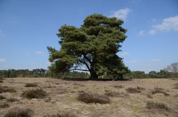 Diesen Baum, stellvertretend für alle Bäume auf der Welt, in der Westruper Heide haben wir ein Lied gewidmet.