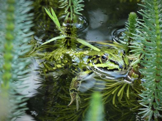 Teiche ziehen u.a. Wasserfrösche an