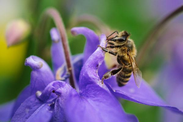 Wildbiene auf Akelei-Blüte, Foto: NABU/CEWE/Leonhard Kraißer