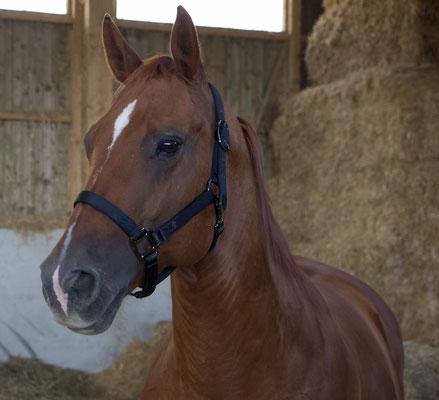 Chubby *2008 - eine Seele von Pferd