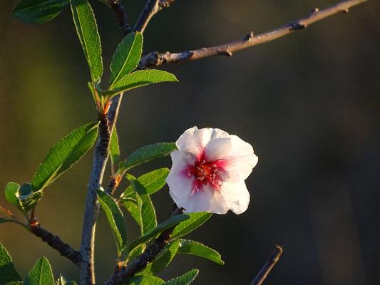 unglaublich, aber diese Mandelblüte verzaubert den November im Valongo