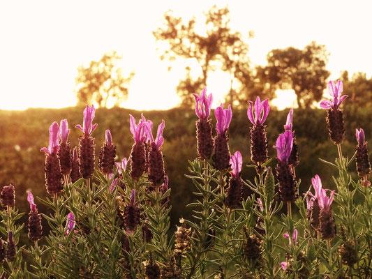 und meine geliebten Lavendelblüten erstrahlen für mich im Licht der tiefstehenden Abendsonne