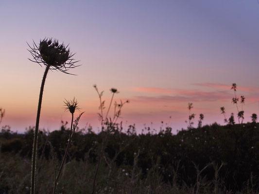 die wilde Möhre ... eine Schönheit am Wegesrand in den rosa Minuten ganz kurz vor Sonnenaufgang