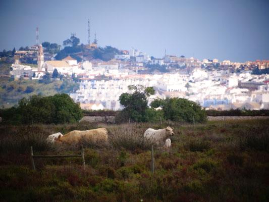 diesen wildromantischen Ausblick bietet doch tatsächlich unsere Tankstelle an der N125vor monte Gordo ... Kühe, und im Hintergrund Ayamonte, Spanien!