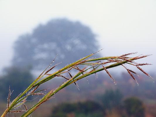 die Gräser beugen sich unter der Last der Tropfen