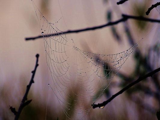 die Tropfen verzaubern auch dieses Spinnennetz