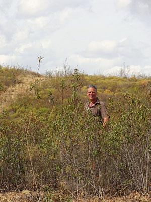mannshoch wachsen die Zistrosen auf unserem Grundstück und sie verströmen auch im Herbst ihren unvergleichlichen Duft ...