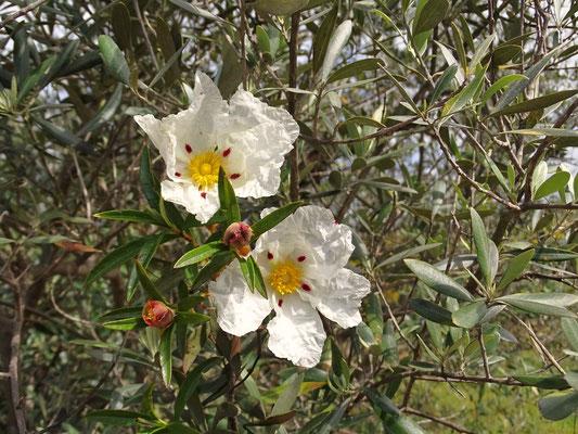 meine Favoriten ... Zistrose und Olivenbaum! Mediterranes Gefühl pur