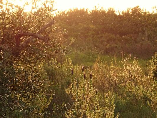 ganz kurz vor Sonnenuntergang habe ich diese besondere Stimmung in unserem Olivental eingefangen ... fast ein bißchen wie Sommer ... die kleinen Pünktchen sind Insekten, die in der Abendsonne tanzen