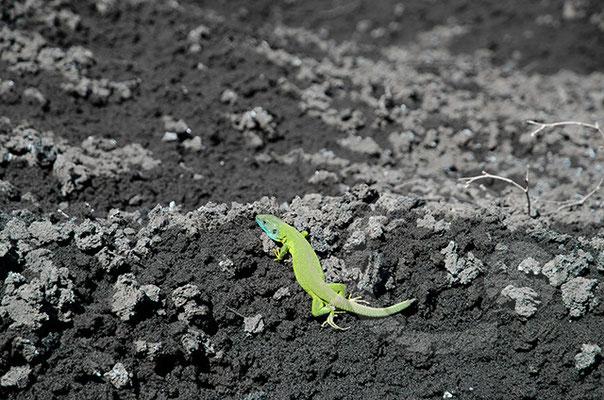 Smaragdeidechse am Ätna