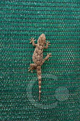 130909_RAW4022 Lipari, Gecko