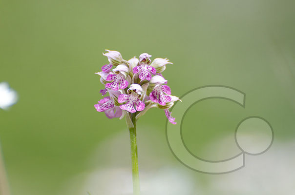 """Orchidee am Lago Biviere im """"Parco dei Nebrodi"""""""