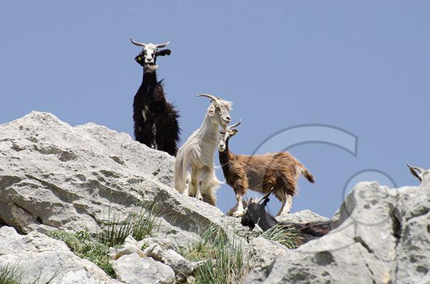 """Ziegen im """"Parco dei Nebrodi"""" auf dem Bergmassiv zwischen Alcara li Fusi und Longi"""