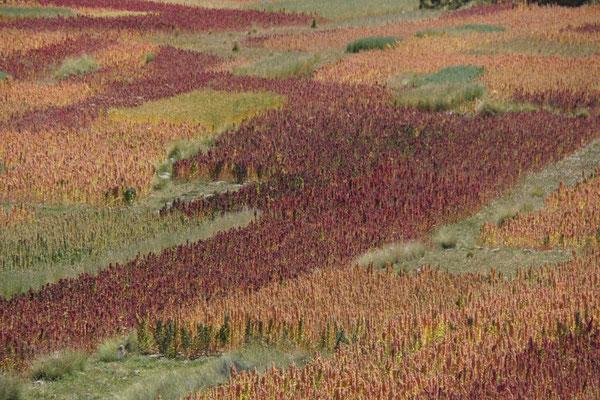 Quinoa Farbspiel