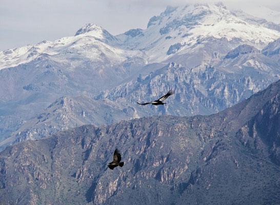 Condore vor Andenpanorama, wow.