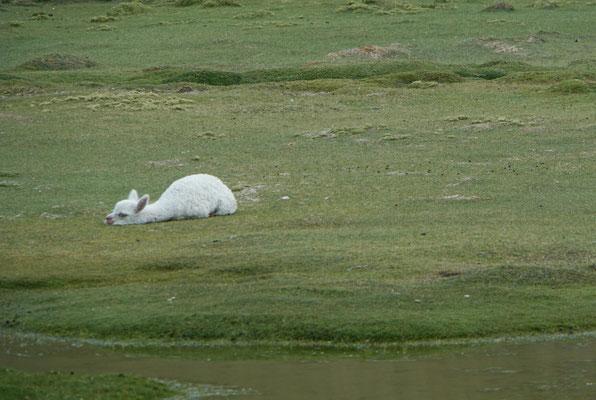 Baby Alpaka mit Montagmorgengefühl.