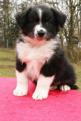 Likho wird ganz in der Nähe der Züchterin bleiben und im Hundesport/Obedience Karriere machen