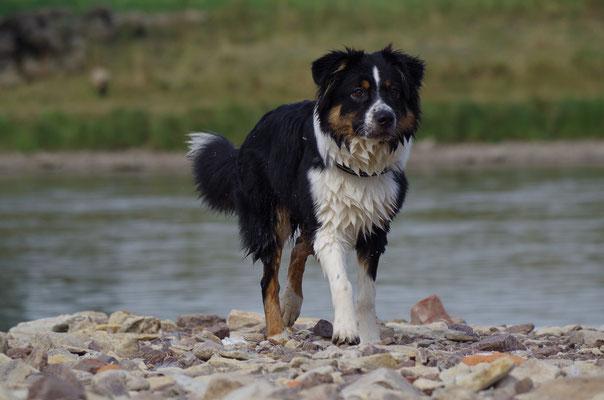 B.J. lebt als Familienhund in Dresden
