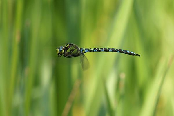 Blaugrüne Mosaikjungfer (m)