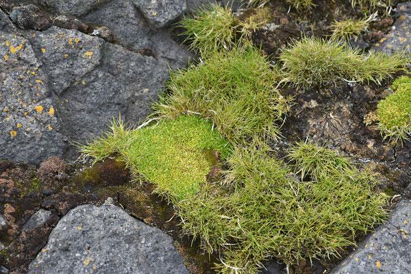 die beiden einzigen Blütenpflanzen der Antarktis, die antarktische Schmiele und die antarktische Perlwurz