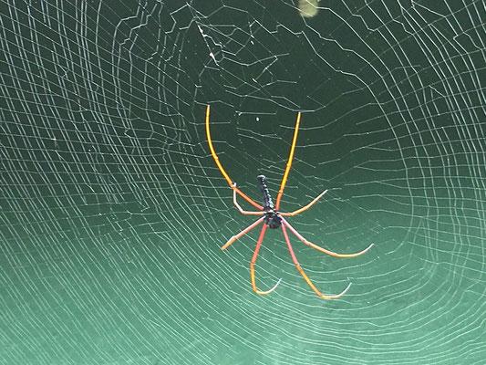 Araignée de Sinharaja