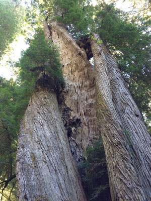 Forêt de Redwoods