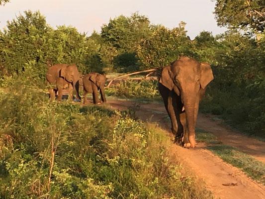 Eléphant dans le parc d'Uda walawe