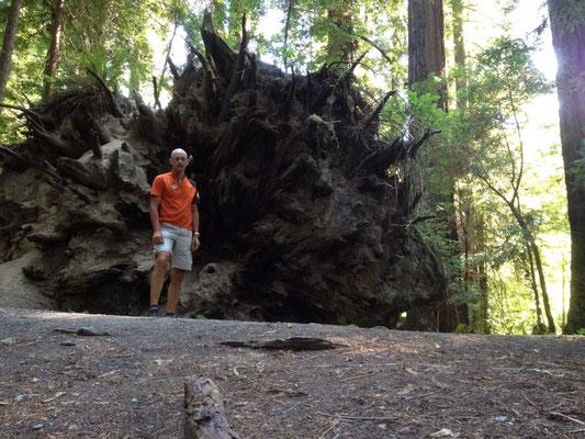 Souche de Séquoia