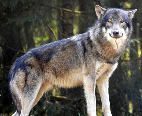 Wolf (Gudrun Kaspareit)