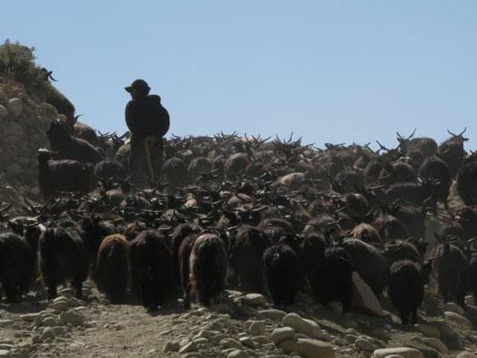 Ziegenherde bei Lo Mantang
