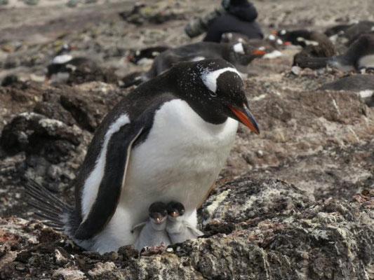 Magellan Pinguin mit zwei Küken