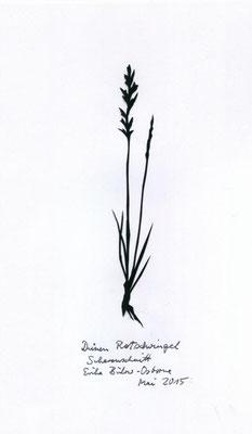 Dünen Rotschwingel